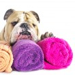 Stock Photo: English Bulldog portrait with towels isolated