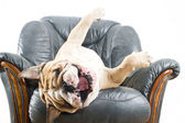 Happy lazy dog Bulldog on a sofa — Stock Photo