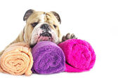 English Bulldog portrait with towels isolated — Stock Photo