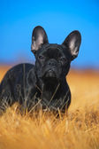 French Bulldog puppy — Stockfoto