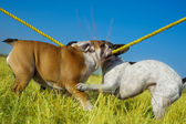 Beautiful english bulldog and french bulldog playing — Stock Photo