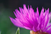 Proste lato kwitnący fioletowy kwiat — Zdjęcie stockowe
