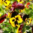 Heartsease, flower garden - close-up — ストック写真