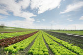 Agricultural field with growing plants — Stock Photo