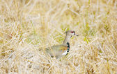 Photo of a southern lapwing bird (vanellus chilensis) — Stock Photo