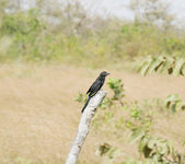 Smooth-billed Ani (Crotophaga ani) perched on a branch — Stock Photo