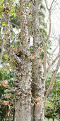Cannonball tree (Couroupita guianensis) — Stock Photo