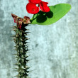 Red flowers with thorny stems — Stock Photo #8410410