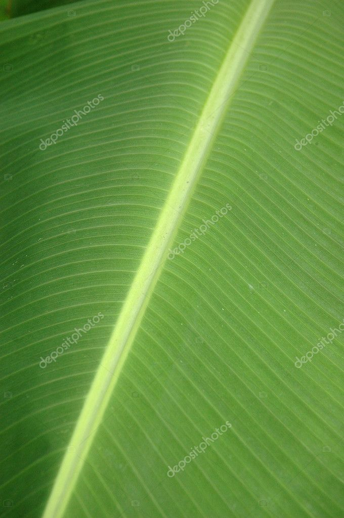 Texture and pattern detail banana leaf  Stock Photo #8557203