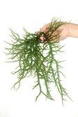 Hand holding fresh green seaweed — Stock Photo