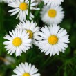 Daisy — Stock Photo #9753254