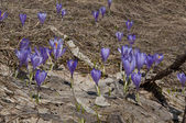 Crocuses in a field — Stock Photo