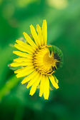 Half-dehisced yellow dandelion — Stock Photo