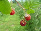 Branch of the red raspberry — Stock Photo