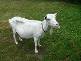 Blanching nanny goat shows language — Stock Photo