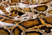 Close-up photo of burmese python — Stock Photo