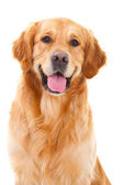 Golden retriever dog sitting on isolated white — Stok fotoğraf