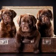 Three puppies of Labrador retriever in vintage suitcase — Stock Photo