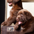 Royalty-Free Stock Photo: Two puppies of Labrador retriever in vintage suitcase