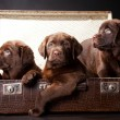 Three puppies of Labrador retriever in vintage suitcase — Stock Photo #10682714