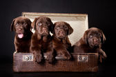 Four puppies of Labrador retriever in vintage suitcase — Stock Photo