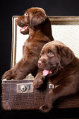 Two puppies of Labrador retriever in vintage suitcase — Stock Photo