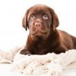 Chocolate Retriever puppy with woolen scarf on white — Stock Photo