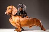 Red and black Dachshund Dogs posing on gray — Stock Photo