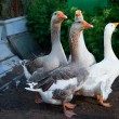 Four geese walking on farm — Stock Photo #9132944