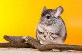 Gümüş chinchilla şubesi oturan — Stok fotoğraf