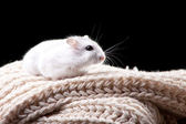 Small white hamster sitting on a beige knitted scarf — Stock Photo