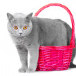 Royalty-Free Stock Photo: British blue cat standing near pink basket on isolated white