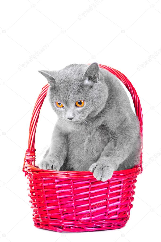 Studio portrait  of beautiful young British blue cat sitting in pink basket on isolated white background — Stock Photo #9985318