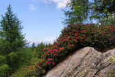 Alpine roses on a rock — Stock Photo