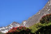 Deep blue sky and Alpine roses — Stock Photo