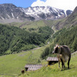 Mountains and a cow — Stock Photo #8730472