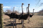 On an ostrich farm-1 — Stock Photo