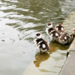 Stock Photo: Few wild goslings