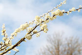 Cherry branch — Stock Photo