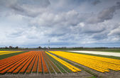 Fields with prange and yellow tulips — Stock Photo