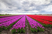 Purple and red tulip fields — Stock Photo