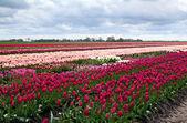 Dutch tulip fields — Stock Photo
