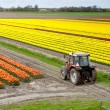 Stock Photo: Tractor on tulip field
