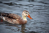 Wild duck female — Stock Photo