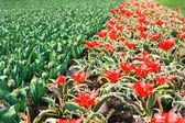 Campo com tulipas coloridas — Foto Stock