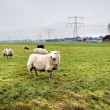 Sheeps on Dutch farm — Stock Photo