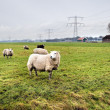 Sheeps on Dutch farm — Stock Photo #8725626
