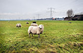 Moutons dans une ferme hollandaise — Photo