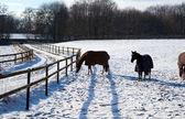 Horses in winter — Stock Photo