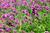 Lavenders (Lavandula) — Stock Photo